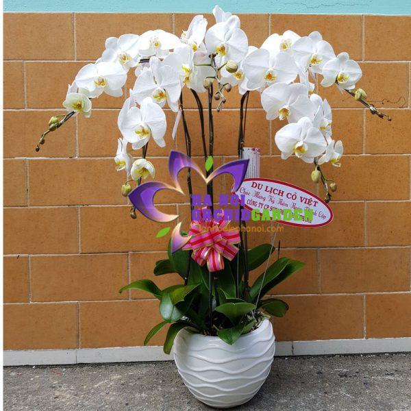 hoa lan tặng đối tác HDT-0523