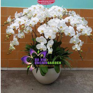 hoa lan trắng văn phòng HDT_1503