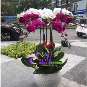shop lan hồ điệp hà nội bán chậu hoa lan 7 cành HDS-0712