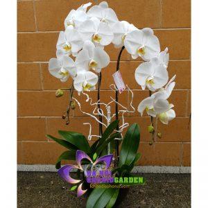 hoa phong lan đẹp HDT-0207
