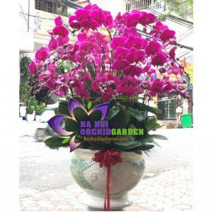 Hoa lan Hà Nội HDD-4803