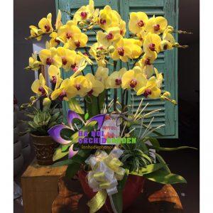 hoa lan vàng chúc tết HDV-1025