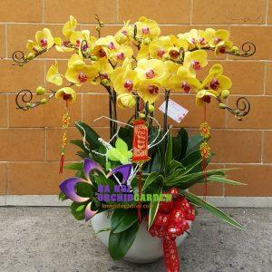 chậu hoa phong lan mừng xuân HDV-0816