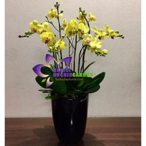 hoa lan đẹp HDV-0701