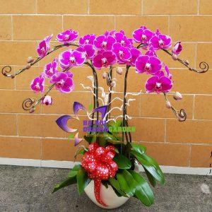 Hoa phong lan tím chúc mừng HDD-0521