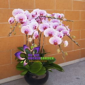 hoa phong lan chưng khách sạn HDH-0604