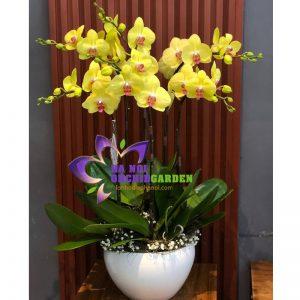 hoa phong lan vàng biếu tết HDV-0610