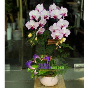 hoa lan hồ điệp tặng vợ HDH-0215
