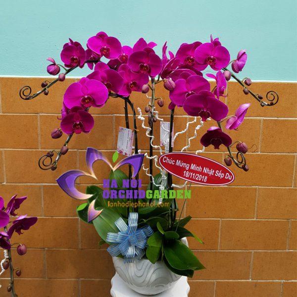 Hoa lan tím đỏ ớt HDD-0516