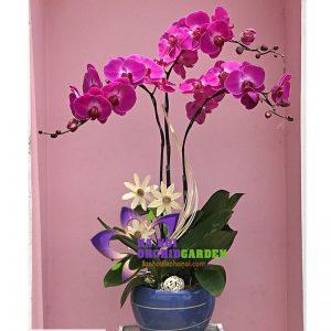 Hoa phong lan Hà Nội HDD-0310