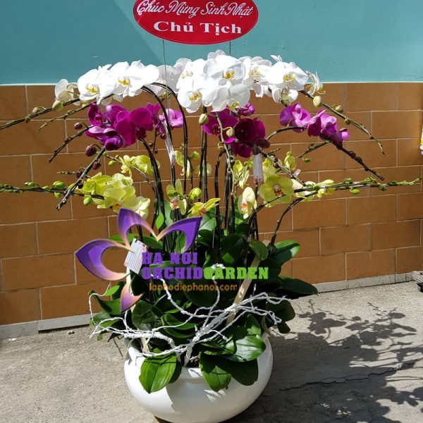 chậu hoa phong lan sinh nhật sếp HDS-2204