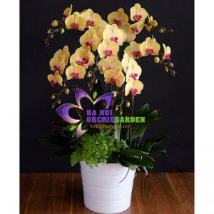 Chậu hoa lan vàng cam nhụy đỏ HDV-0605