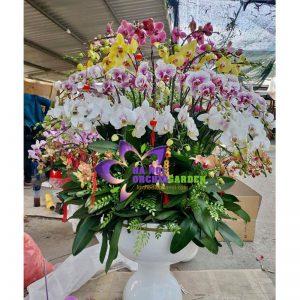 các loại hoa phong lan HDS-8612