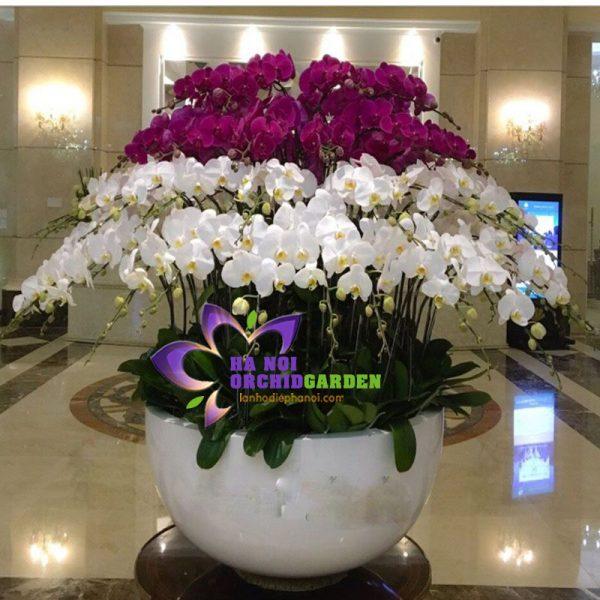 Chậu hoa lan hồ điệp đẹp khủng Chậu hoa lan tết HDS-8609
