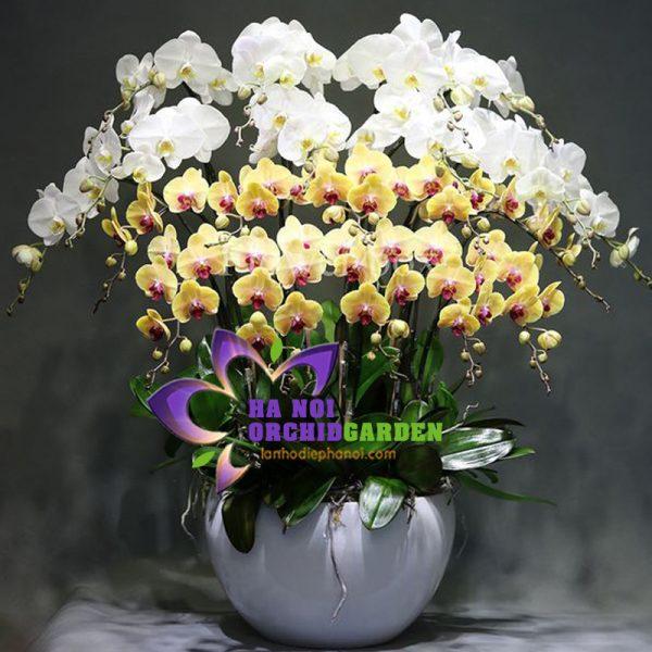 hoa lan đà lạt tại hà nội HDS-2019