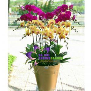 hoa lan ghép chậu biếu tết HDS-1217