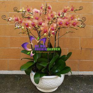 hoa lan hồ điệp màu cam HDC-1002