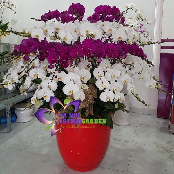 ảnh hoa lan đa sắc đẹp HDS-6809