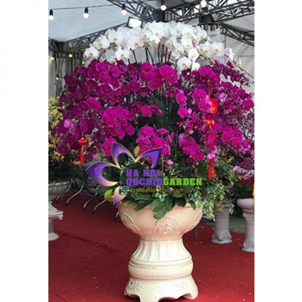 chậu hoa phong lan 86 nhánh tím mừng xuân HDS-8614