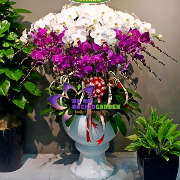 Chậu hoa phong lan đẹp HDS-3010